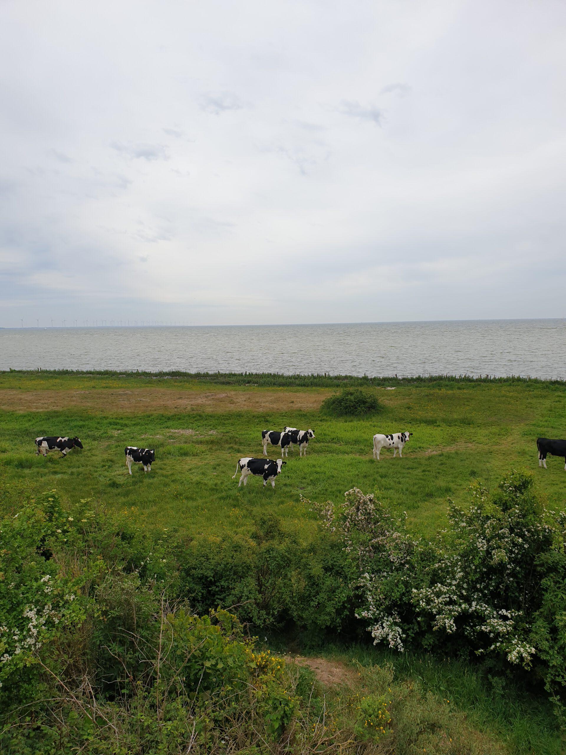 Koeien bij het Oudemirdumer Klif
