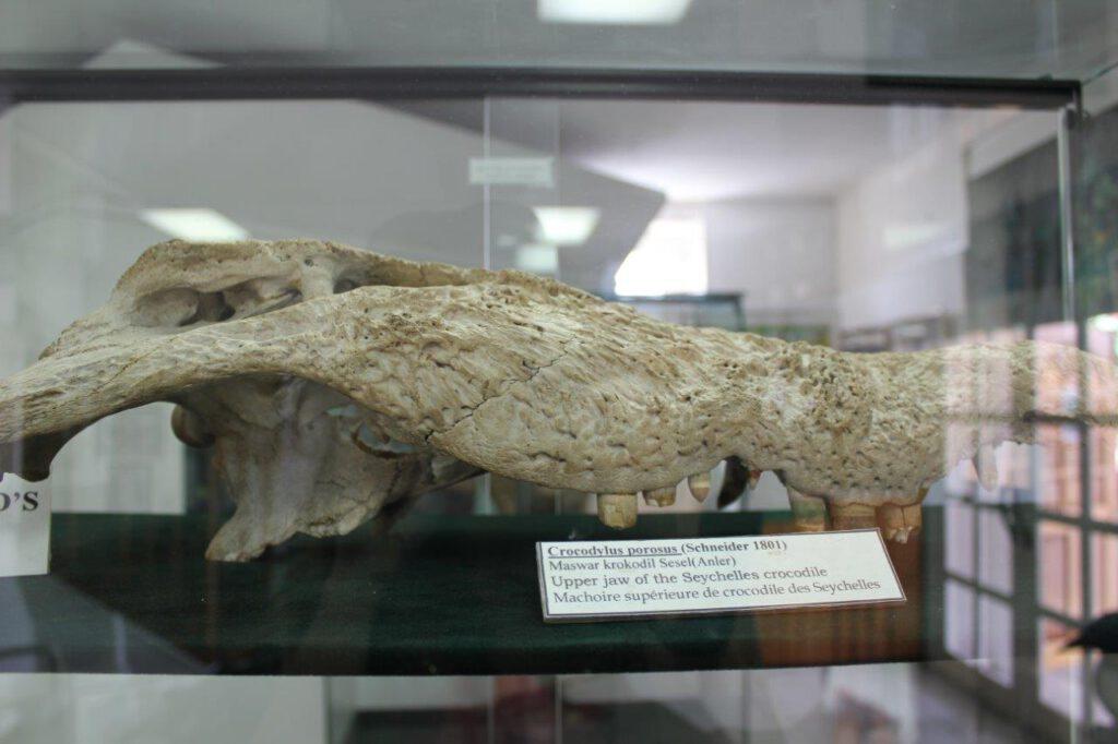 Schedels van krokodillen op de Seychellen