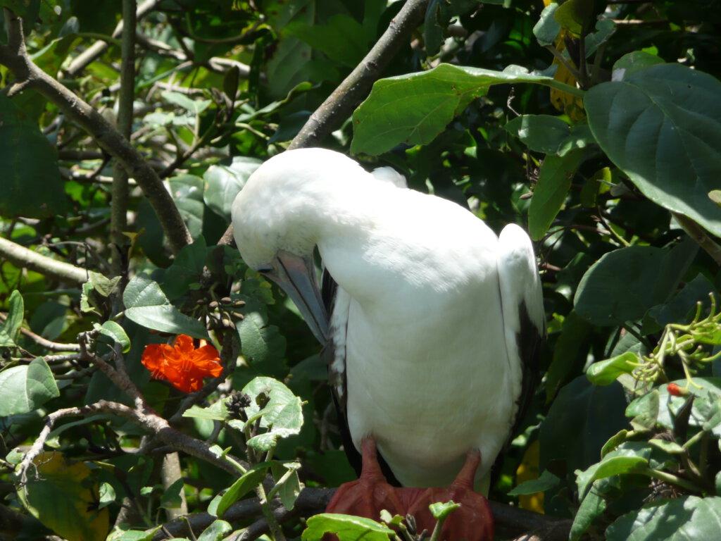 Roodpootgent op Half Moon Caye in Belize