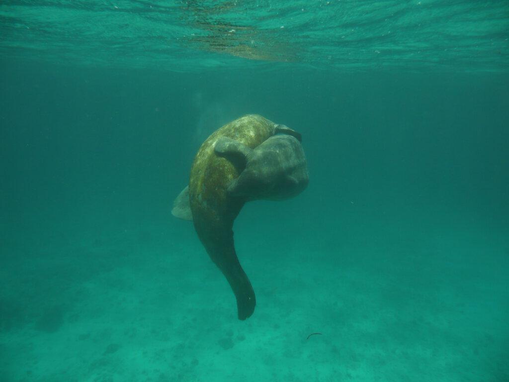 Snorkelen met zeekoeien in Belize