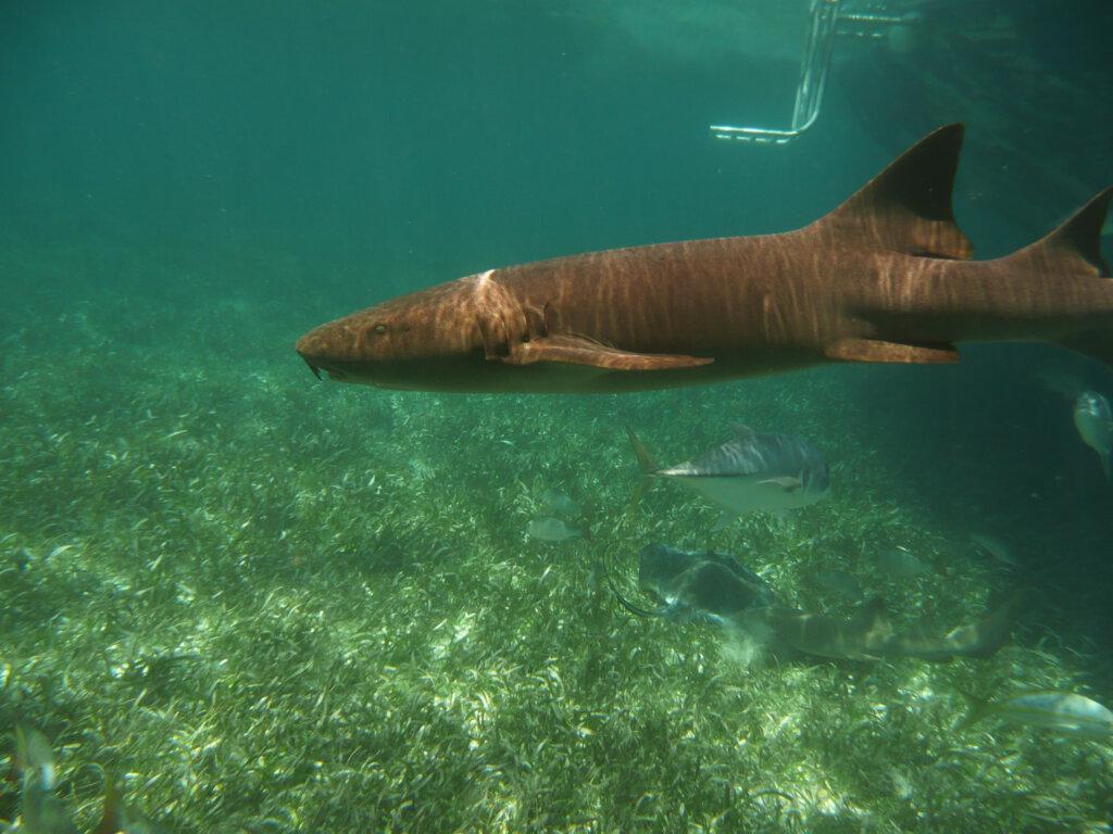 Snorkelen met verpleegsterhaai in Belize
