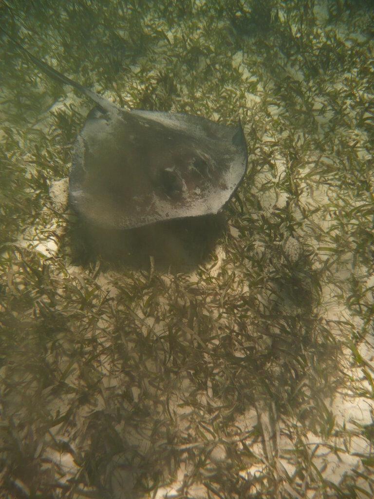 Snorkelen met een pijlstaartrog in Belize