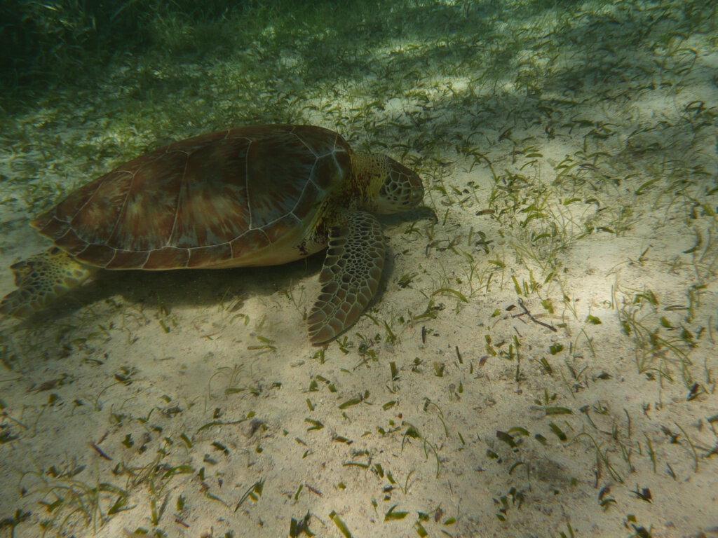 Snorkelen met een zeeschildpad in Belize
