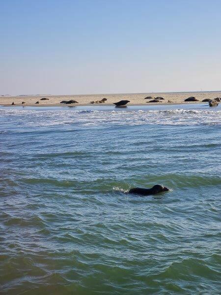 Grijze zeehond op de Engelsmanplaat
