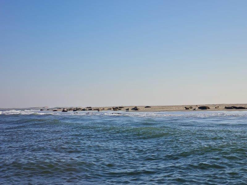 Engelsmanplaat Tussen Vlieland en Terschelling vol met grijze zeehonden
