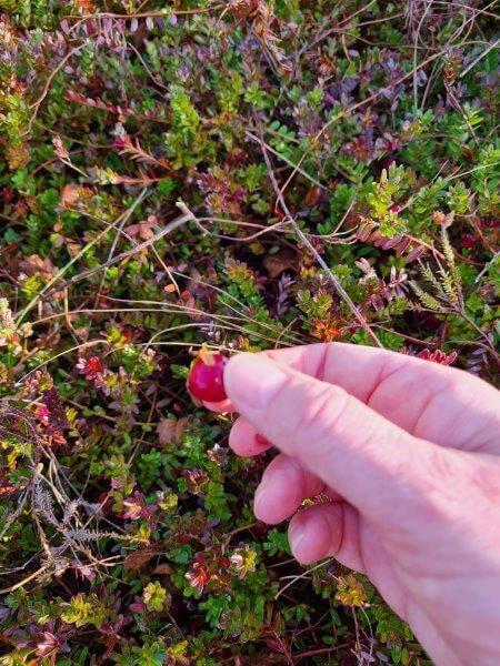 Pluk je eigen cranberry's op Waddeneiland Vlieland