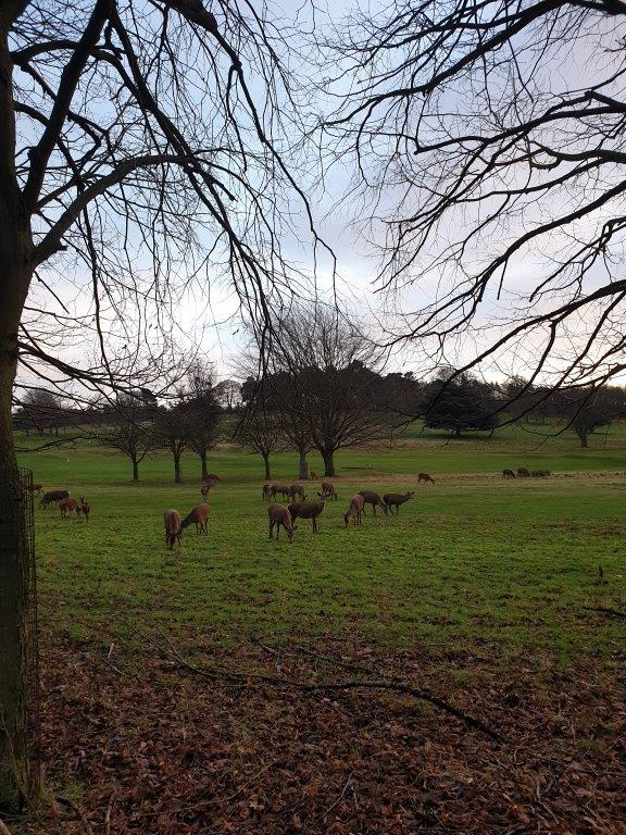 Herten bij de golfbaan van Wollaton Hall