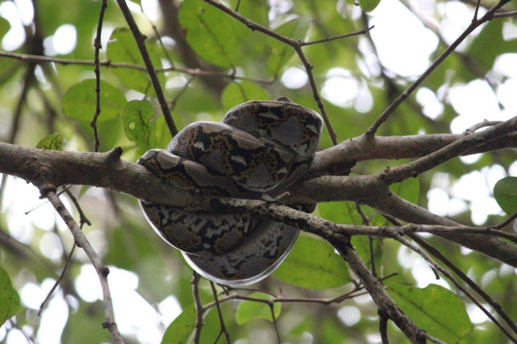 Python in de bomen van de mangrove van Juara