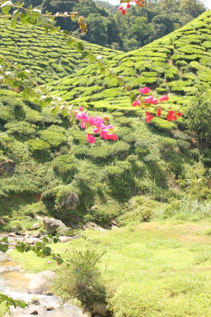 Een highlight van mooi Maleisië: theeplantages in de Cameron Highlands