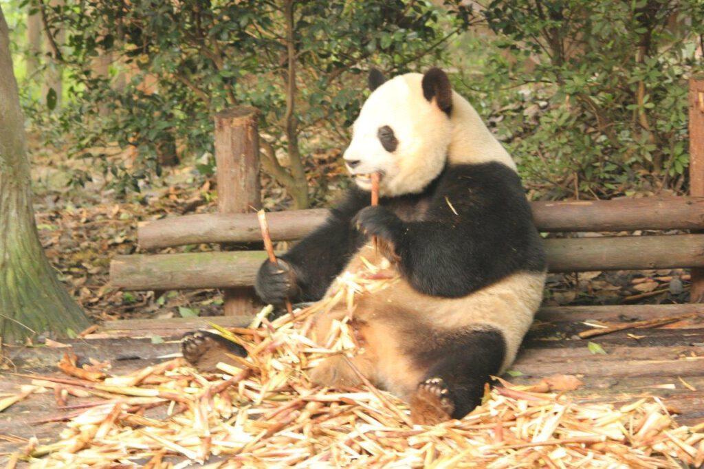 Eerste reis China tips dan wil je panda's zien