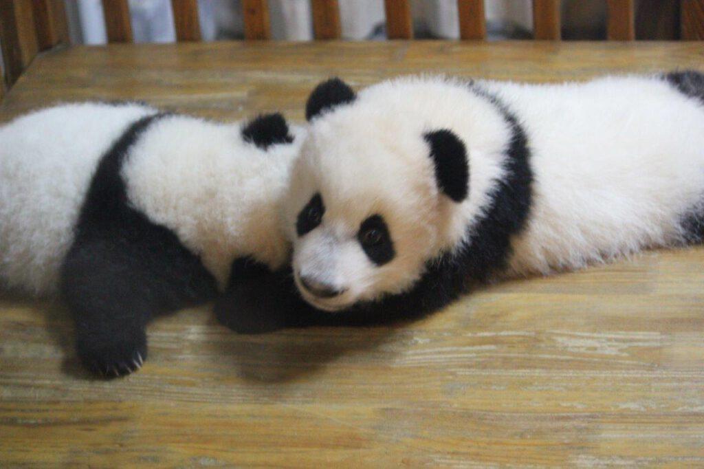 Babypanda's in Chengdu tijdens een rondreis door China