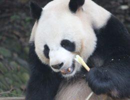Panda's kunnen niet ontbreken tijdens een rondreis door China